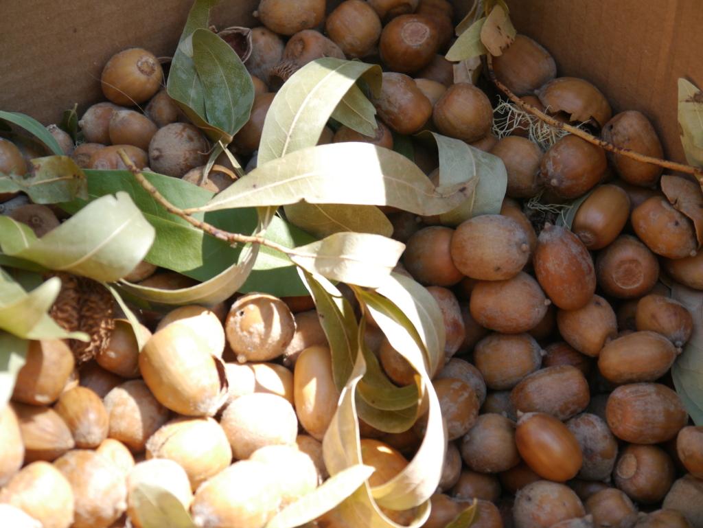 Tan Oak Acorns
