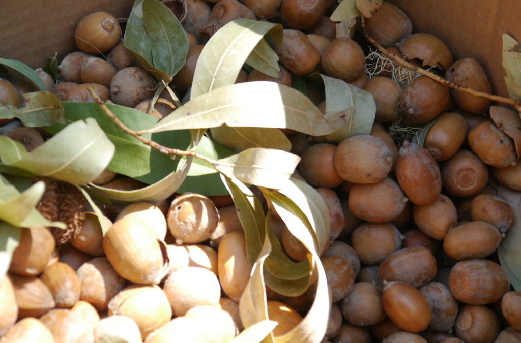 Did your ancestors eat acorns?