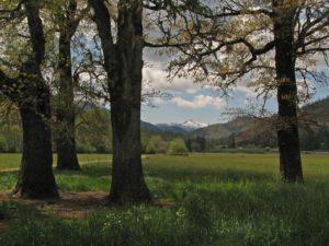 Oak Ethnoecology