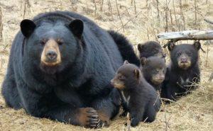 The Bear Council